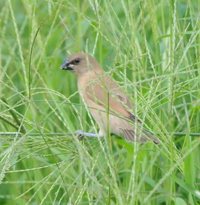 Spotted Munia (Lonchura striata)