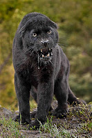 Black Panther Picture and Photo 23