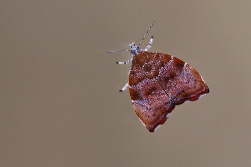 limousin photos nature papillons et chenilles choreutis nemorana la teigne du figuier. Black Bedroom Furniture Sets. Home Design Ideas