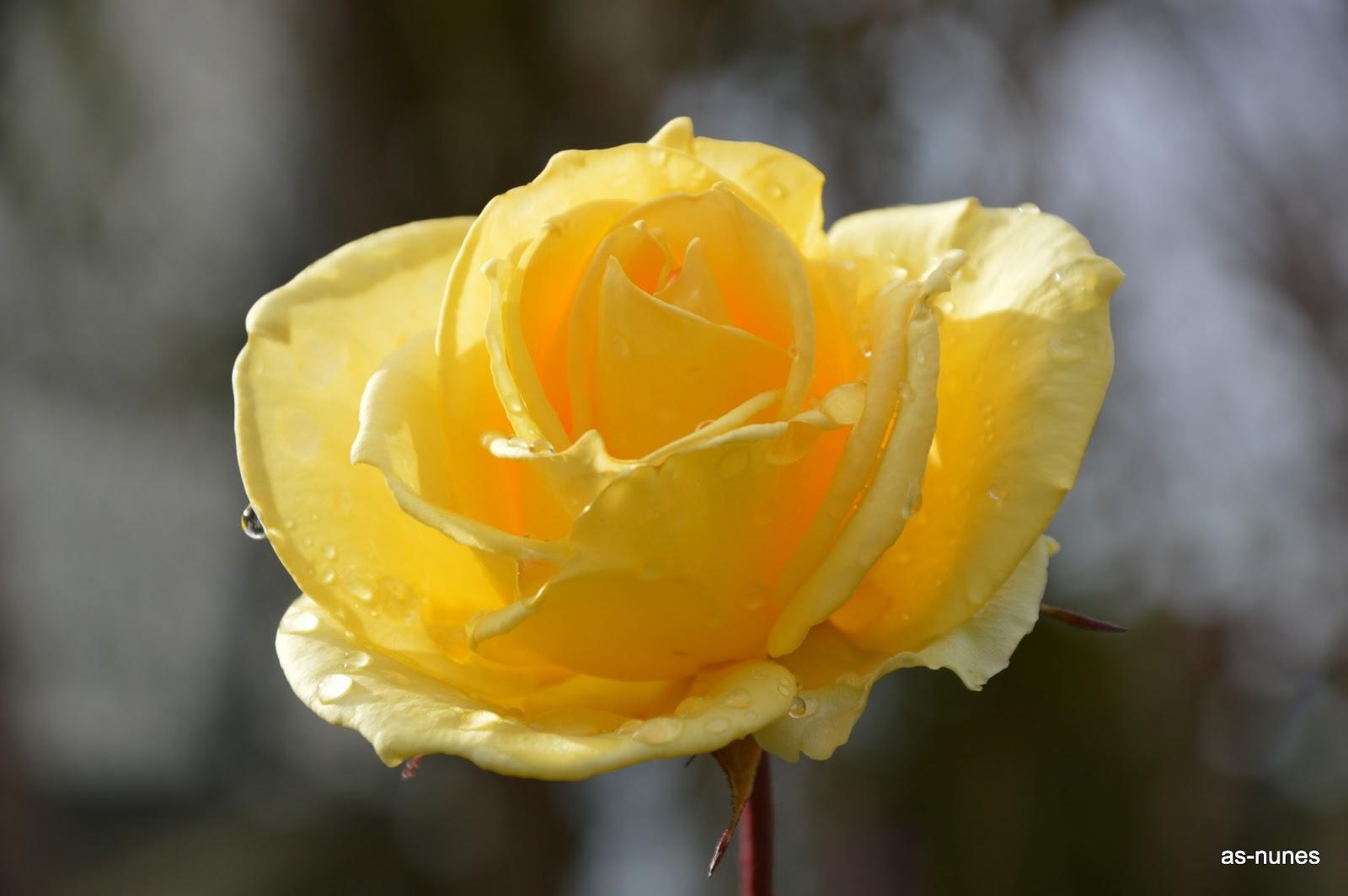 jardim rosas amarelas : jardim rosas amarelas:Todos os anos floresce num local recôndito do jardim, como que a