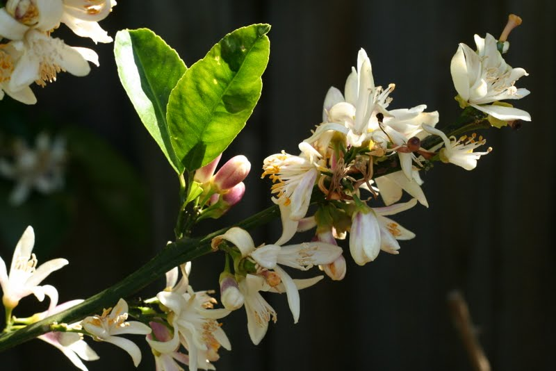 healthy Meyer Lemon blossom