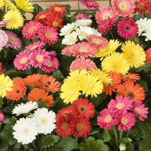 非洲菊迷你美加-混合 | iGarden花寶愛花園
