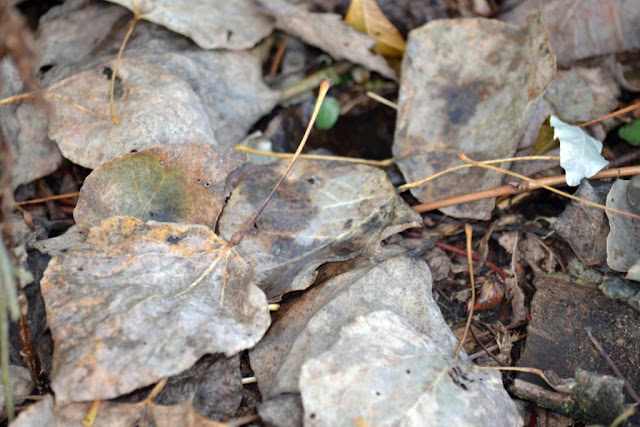aspen leaf stem gall