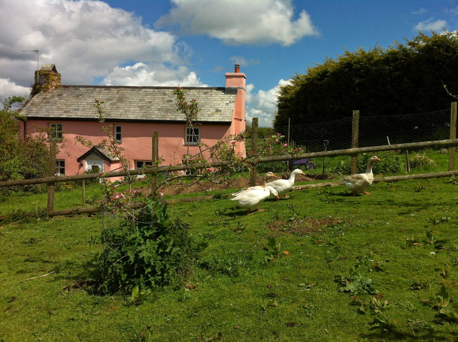 Tomaland Farm from the orchard with geese