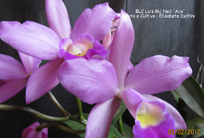 BLC Lois MCNeil  'ACe' do blogdabeteorquideas