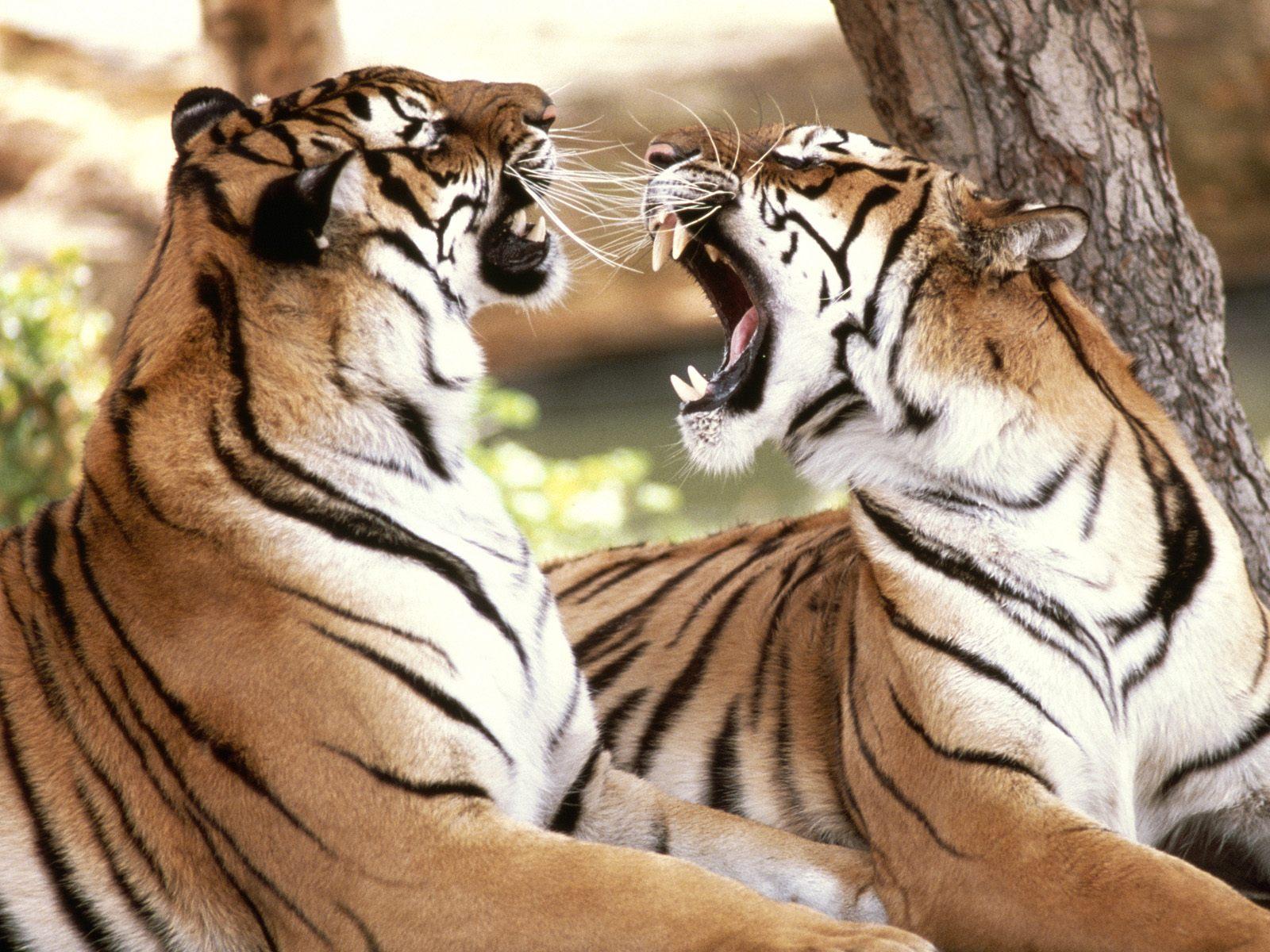 http://1.bp.blogspot.com/-vc1un8CNDys/T7sPzzULDyI/AAAAAAAADb8/A6xWZAbfYAQ/s1600/Tiger3.jpg