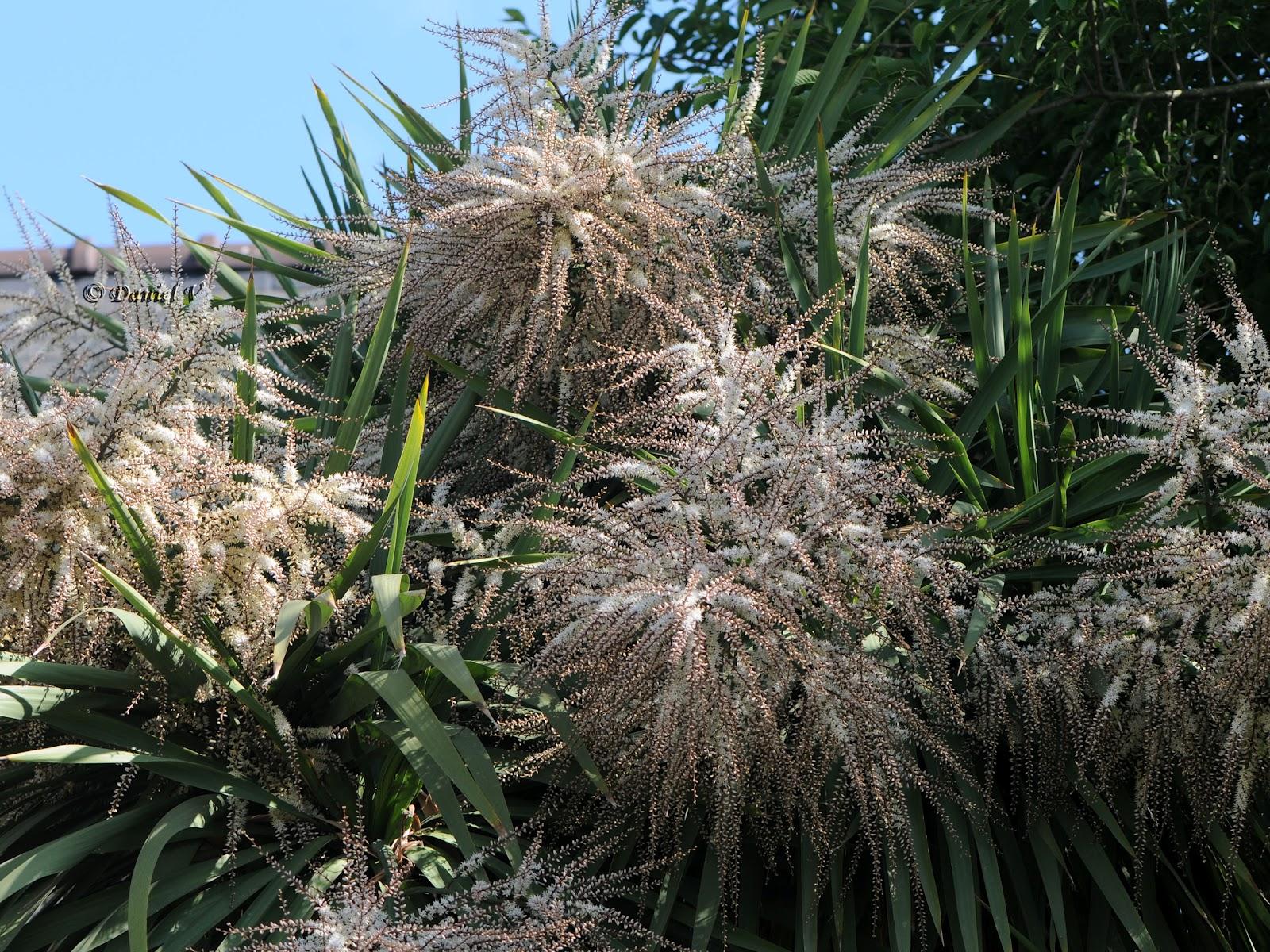 Les verdier du 44 cordyline indivisa se m fier de - Cordyline feuilles qui jaunissent ...