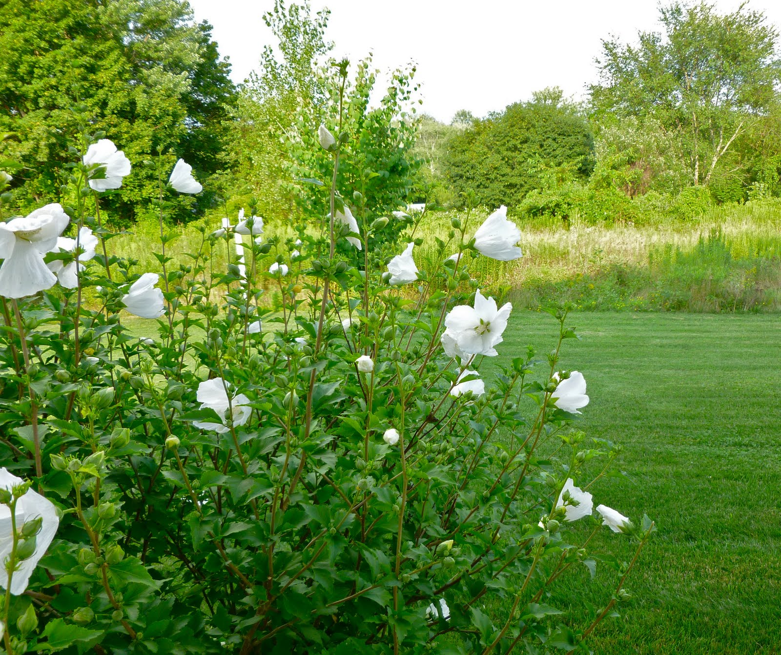 how to look after rose of sharon