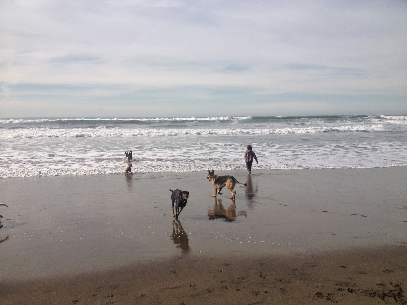 dogs playing in the waves at Fort Funston, San Francisco, CA