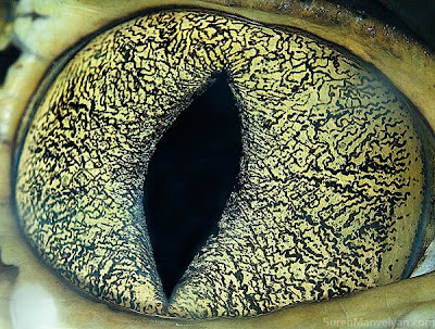 Animal eyes by Suren Manvelyan Seen On www.coolpicturegallery.us