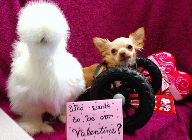 Chihuahua pollo amigos abandonado  Alicia Williams