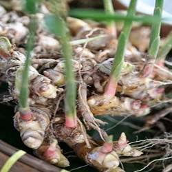 cara menanam jahe merah dalam polybag