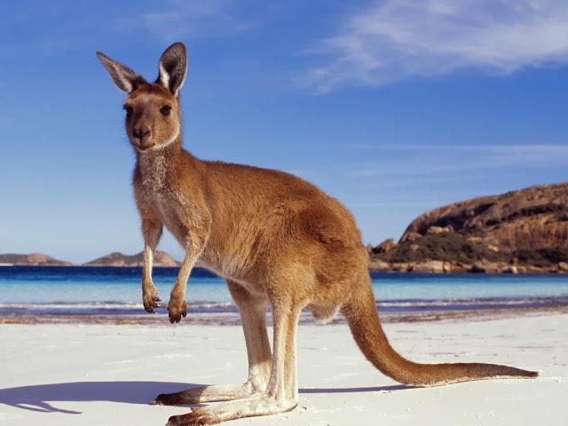 "<img src=""http://1.bp.blogspot.com/-vd4vGSqek8Q/Uq9i1cboBII/AAAAAAAAFys/K6jXk2aeuII/s1600/hgf.jpeg"" alt=""Kangaroos Animal wallpapers"" />"