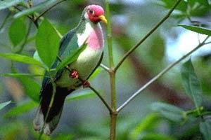 jambu fruit dove flying - photo #14