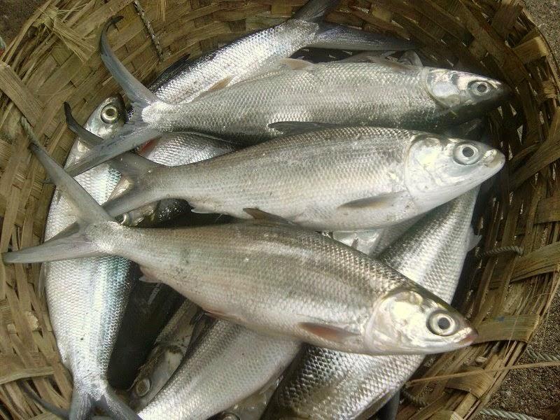 Sejarah Asal Usul Mula Ikan Bandeng