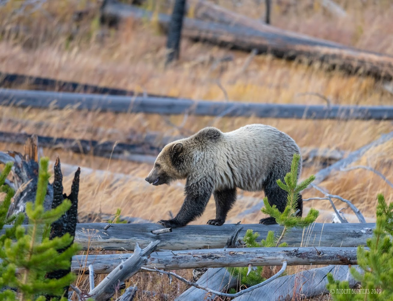 Snow the grizzly cub, Yellowstone