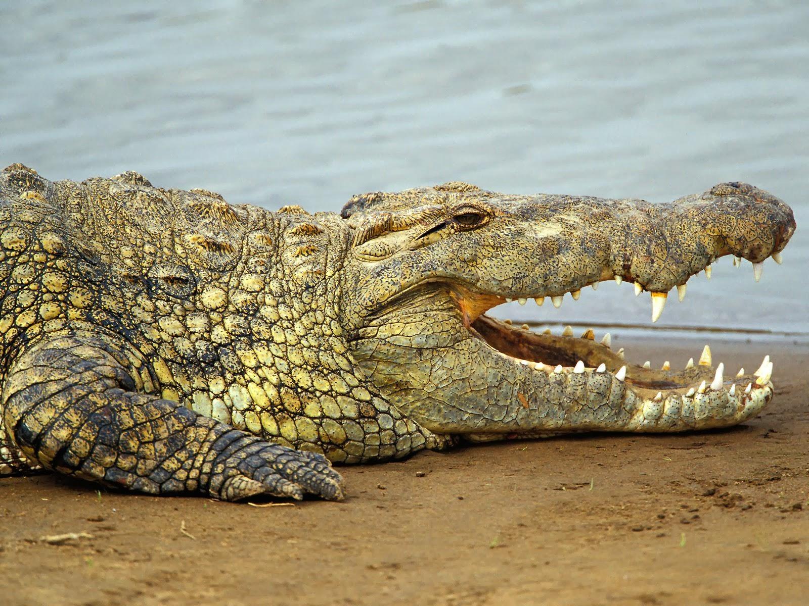 Crocodile Images