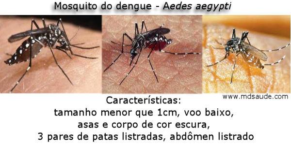 Fotos do mosquito da dengue - Aedes aegypti