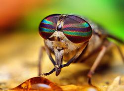 sineklerin gözleri