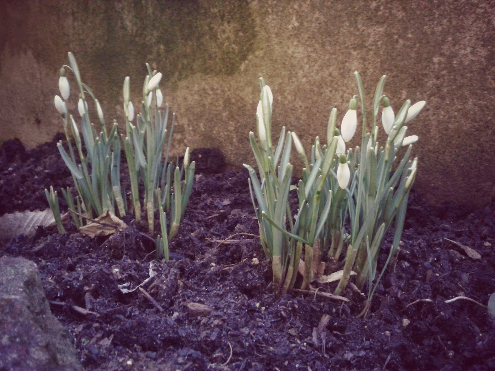 Project 365 day 36 - Snowdrops // 76sunflowers