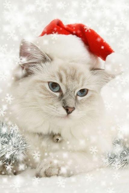Santa Cat Pictures