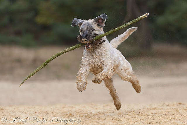 Flying Irish Wheaten Terrier