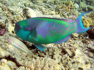 indahnya ikan hias : Rainbow Parrot Fish