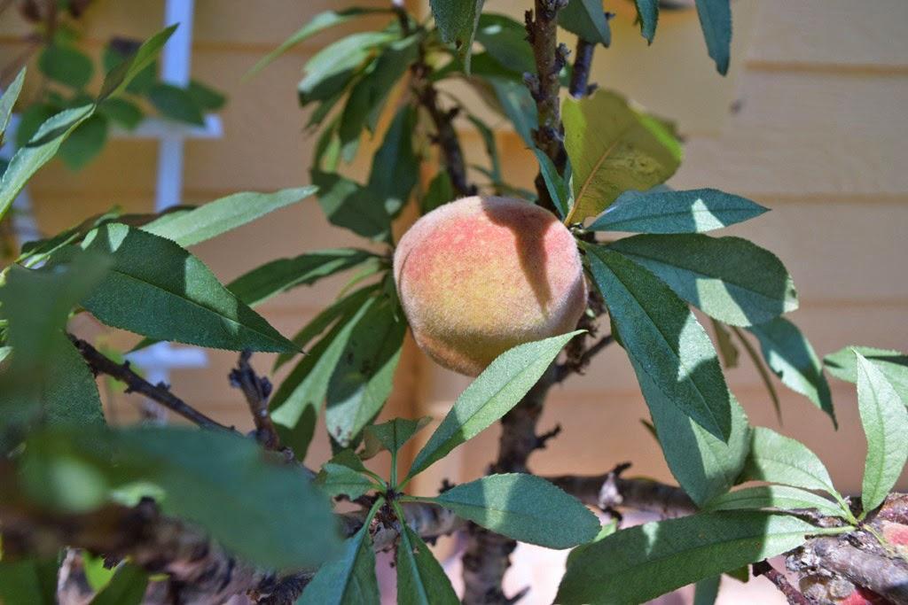 Quite A Surprising Little Peach Tree!