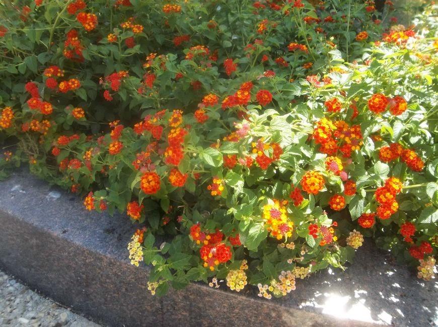 Future plants by randy stewart lantana mightylinksfo