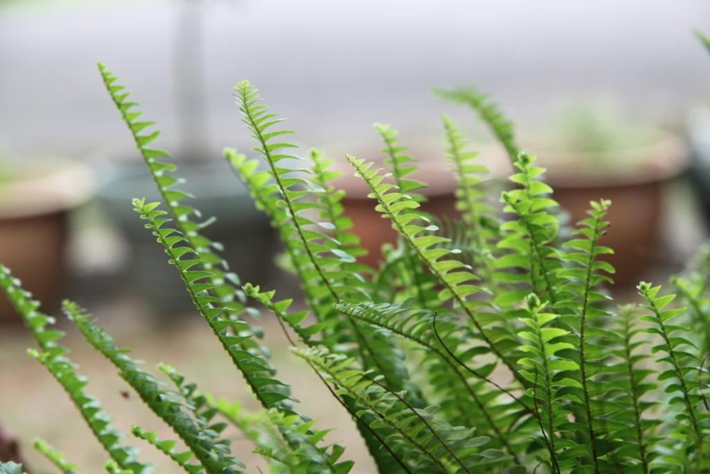 how to look after ferns