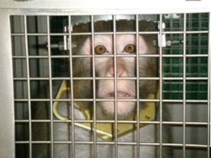 Primata submetido a testes científicos – imagem ilustrativa (Foto: PETA)