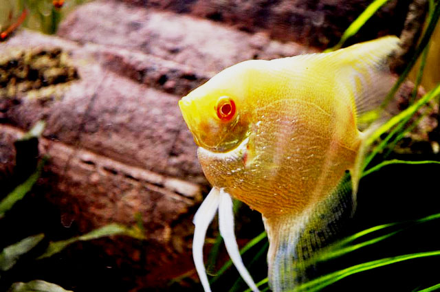 Albino Pearscale Angelfish Red Eye Stockphoto
