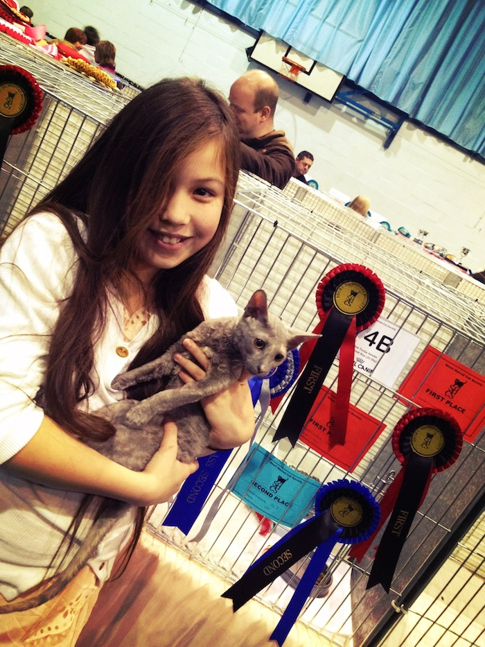 Cornish Rex cat show winner