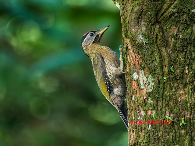 Laced woodpecker(Picus vittatus)