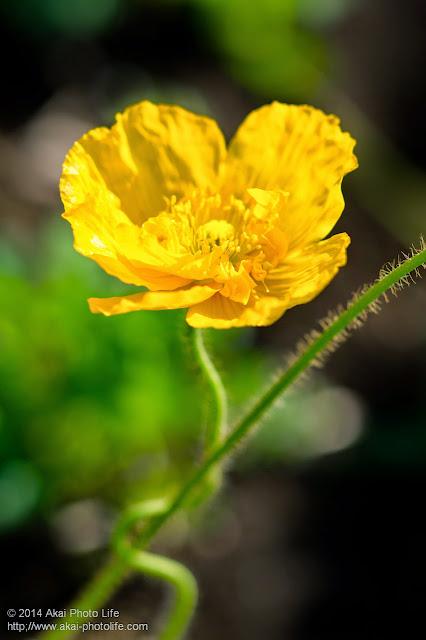 八重咲きのアイランドポピー イエロー