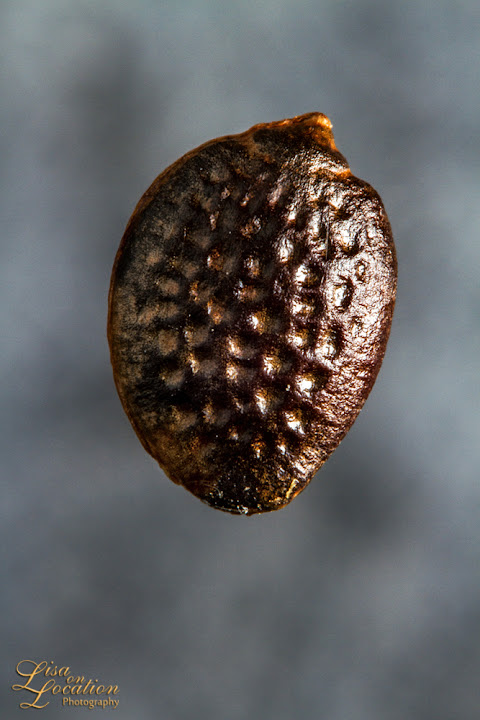 365 photo project, passiflora incarnata seed, macro, Lisa On Location photography, New Braunfels, San Antonio, Austin