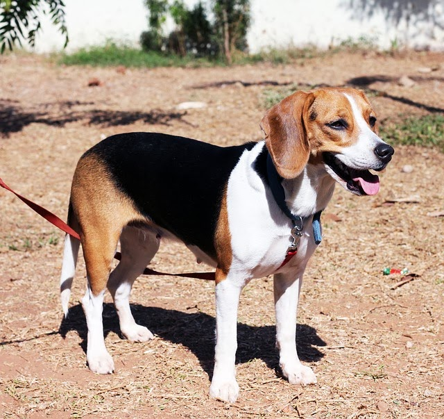 Cute beagle puppies pictures beagles dog photos and images cute pictures of beagle dogs voltagebd Image collections