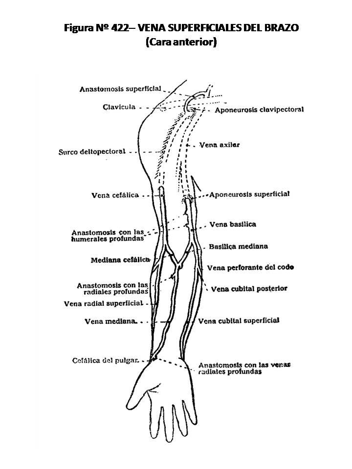 Hermosa Diagrama De La Anatomía Brazo Inspiración - Anatomía de Las ...