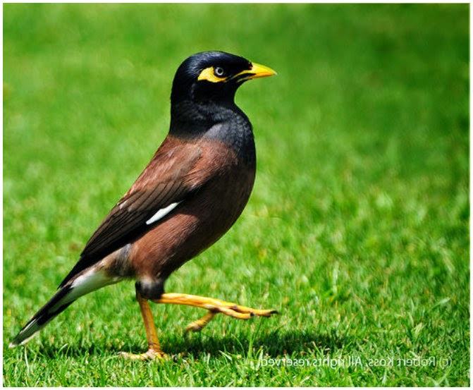 Indian Myna Bird Pest Control Blacktown