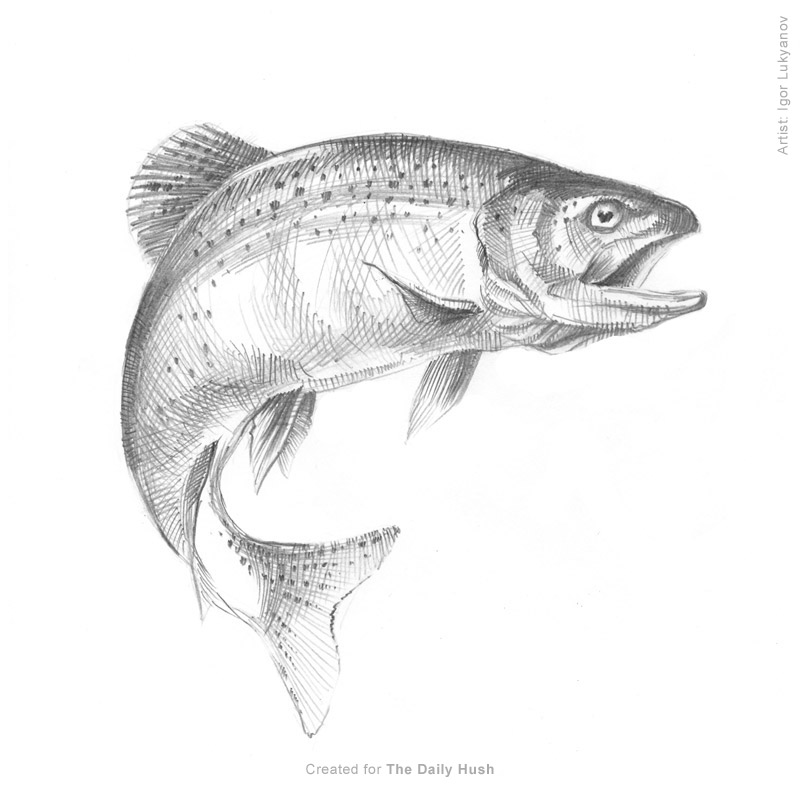 Trout Fish Drawing