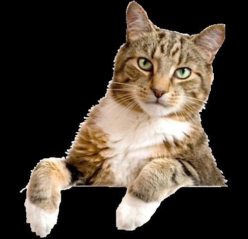 Png gatos lacremania for Red transparente para gatos