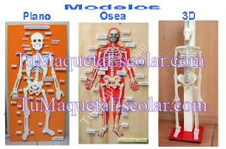 Esqueleto Humano en tres modelos de maquetas