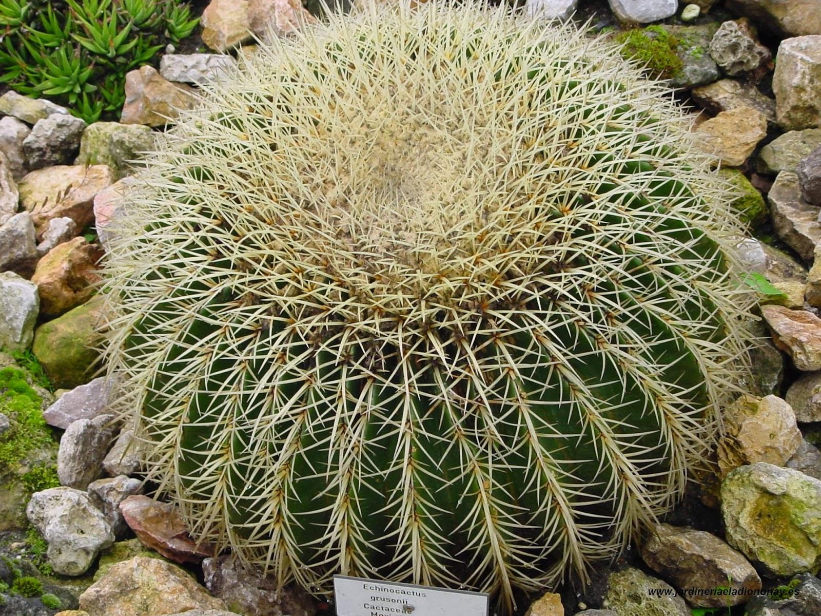 Jardineria eladio nonay echinocactus grusonii o asiento for Informacion sobre el cactus