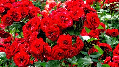 صور وخلفيات ورد أحمر 2014 رومانسى - موقع جزيرة خيال