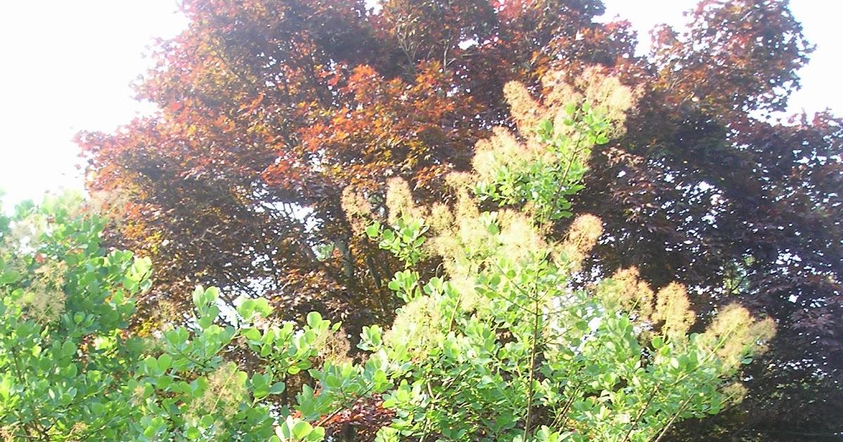 Franklin County (PA) Gardeners: Smoketree - Cotinus coggygria