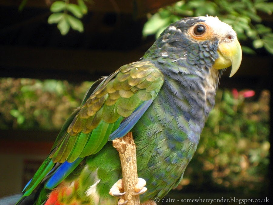 White Crowned Parrot - Macaw Mountain, Honduras