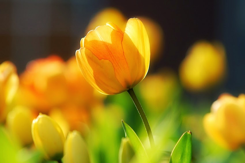 Morgan's Milieu | Time for a Switch-aroo: Yellow tulip shining in the sun.