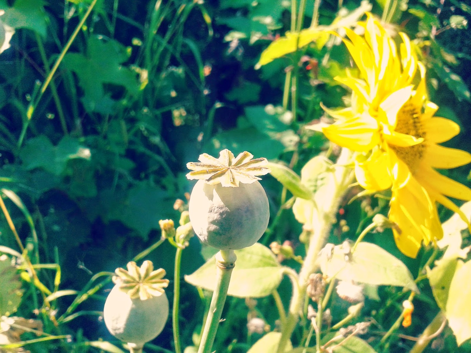 Project 365 day 205 - Poppies & sunflowers // 76sunflowers