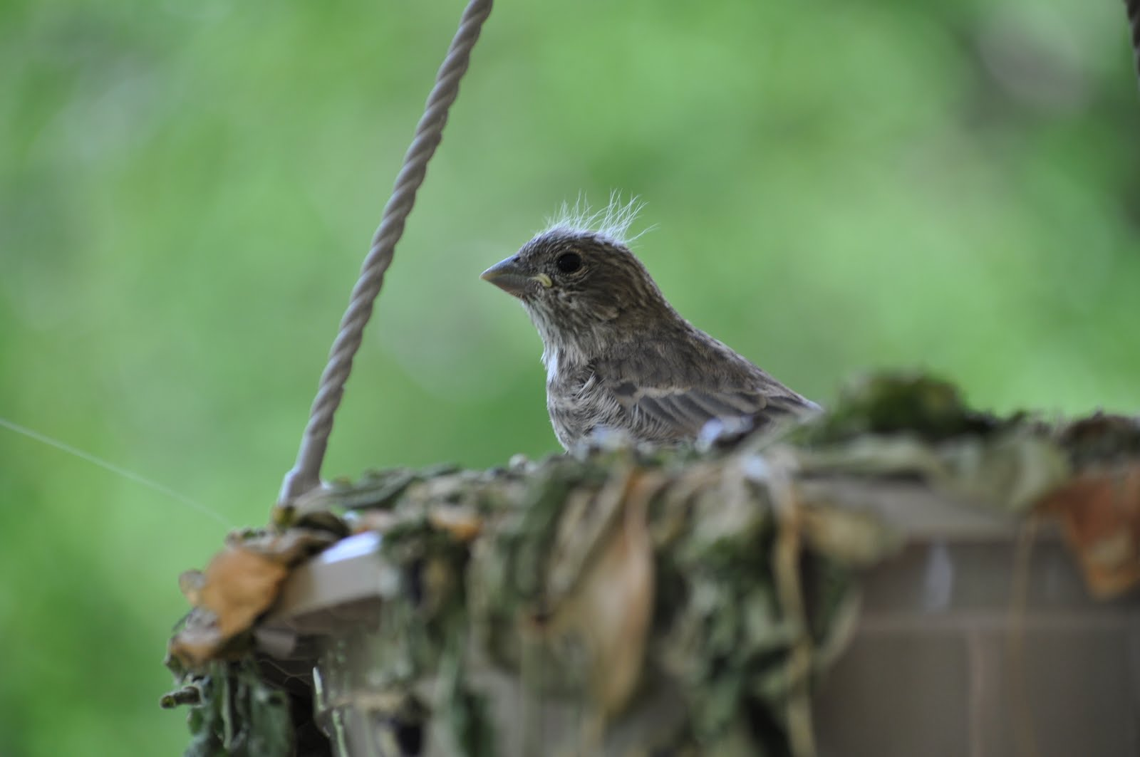 superoceras backyard ornithology house finch breeding