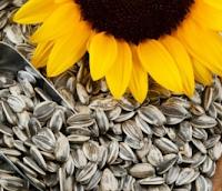 50 Manfaat Biji Bunga Matahari Untuk Kesehatan
